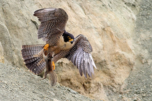 Herbert Knufken, Peregrine Falcon and Ground Squirrel, Torrey Pines State Natural Reserve, San Diego County