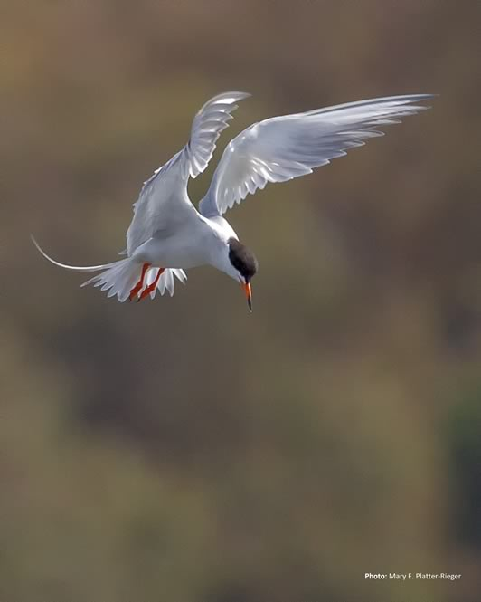 hm-platter-rieger_common_tern-caption