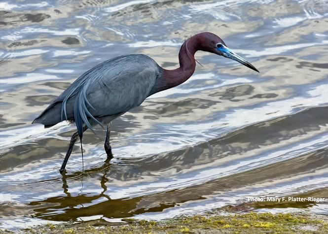 hm-platter-rieger_heron-caption